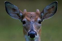 young-buck-deer-nub-horns-black-eyes-wet-nose-brown-white-fur-58792408