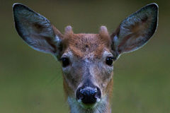 young-buck-deer-nub-horns-black-eyes-wet-nose-brown-white-fur-58792408