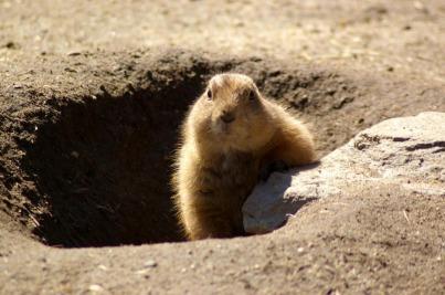 groundhog-629863_1920